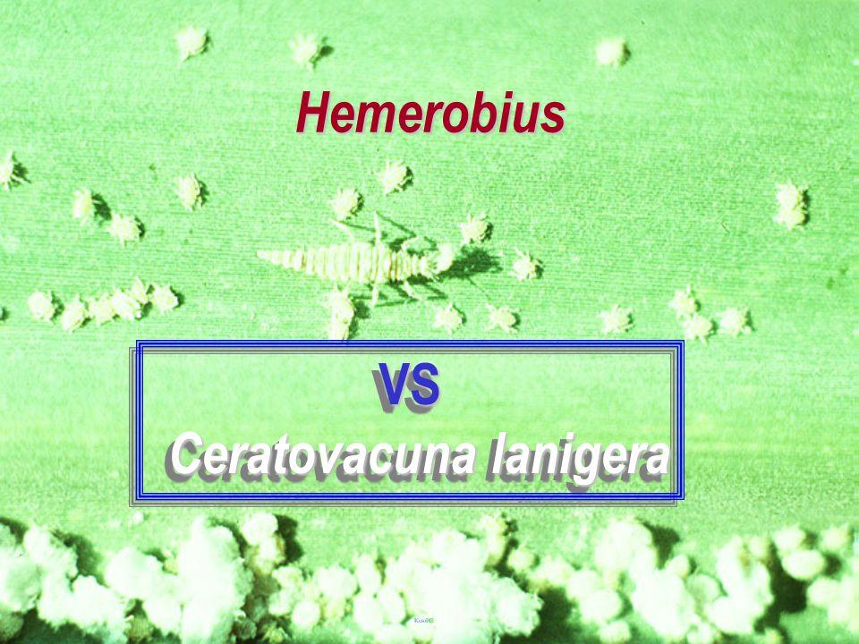 Ceratovacuna lanigera