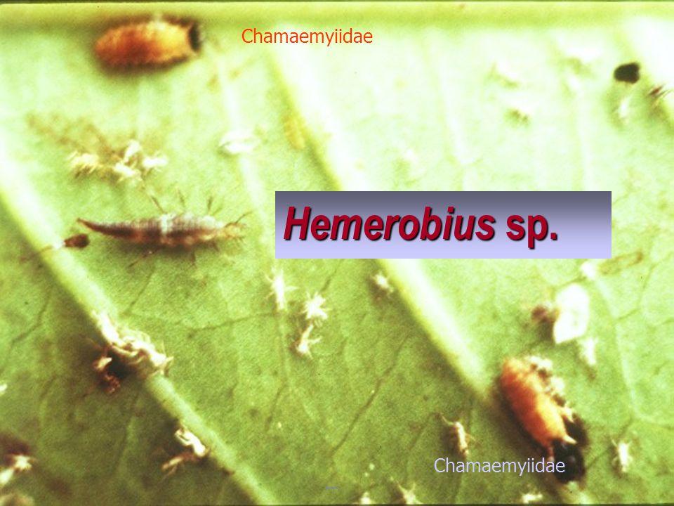 Chamaemyiidae Hemerobius sp. Chamaemyiidae