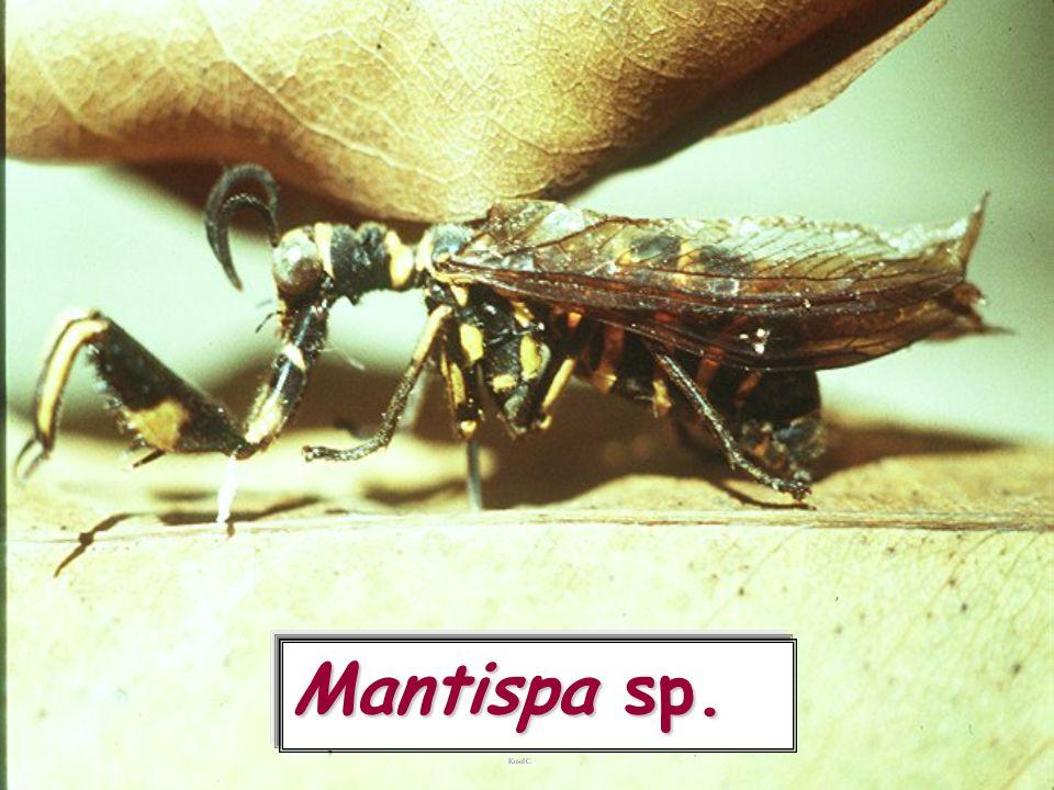 Mantispa sp.