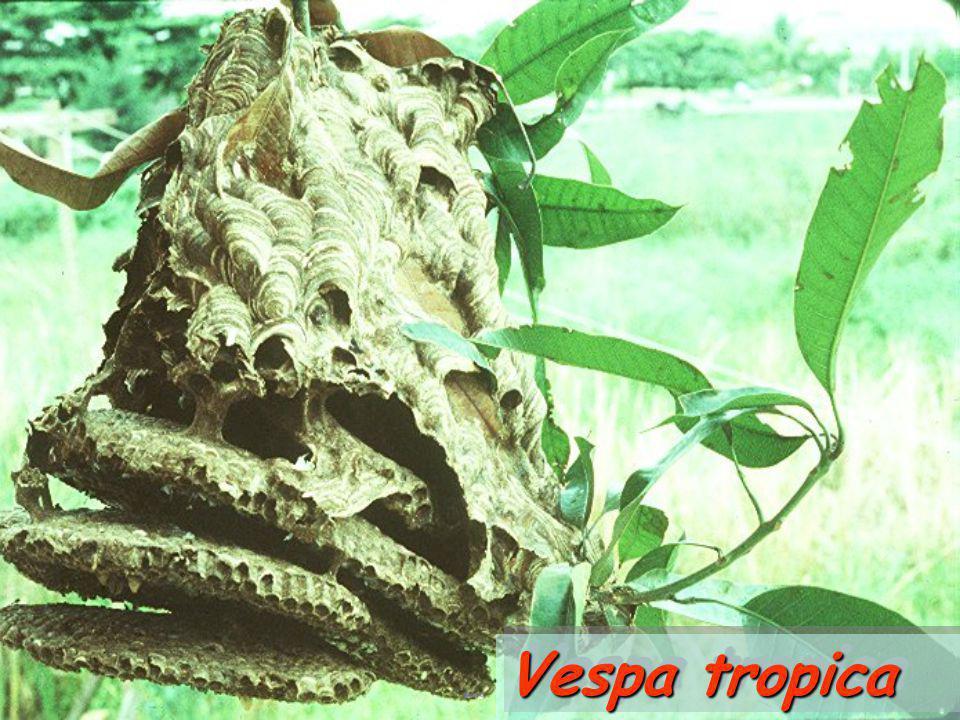 Vespa tropica