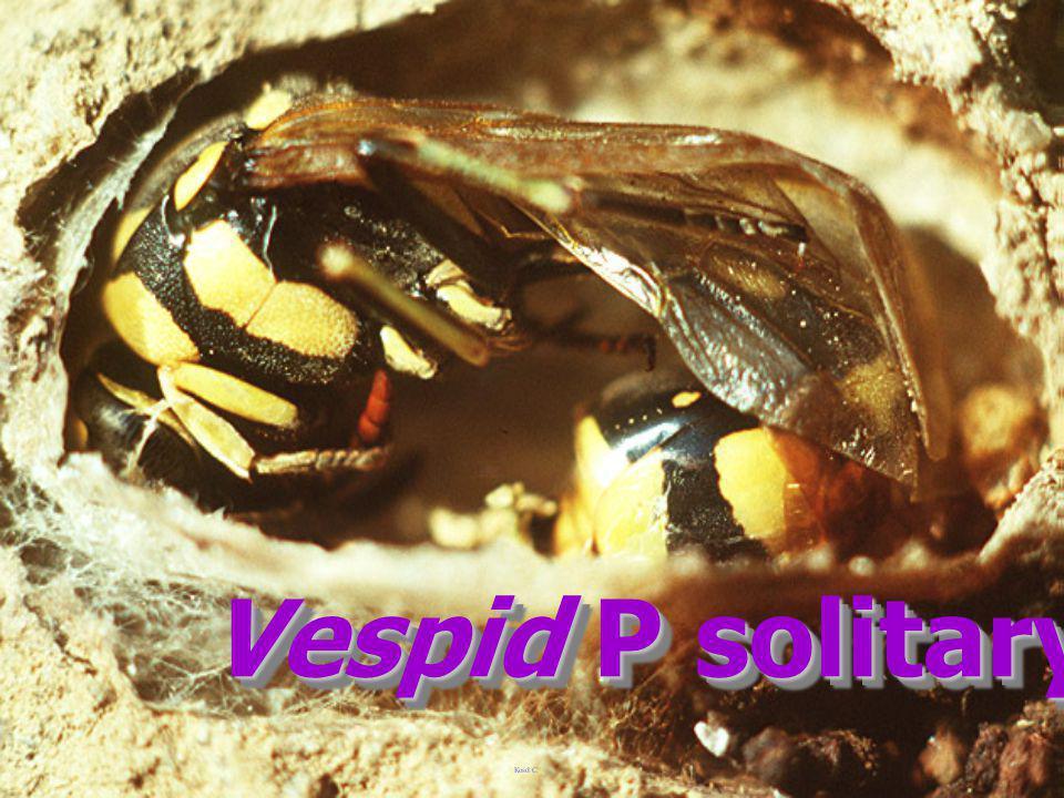Vespid P solitary yll