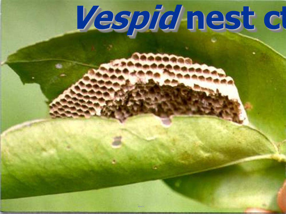 Vespid nest ct lf