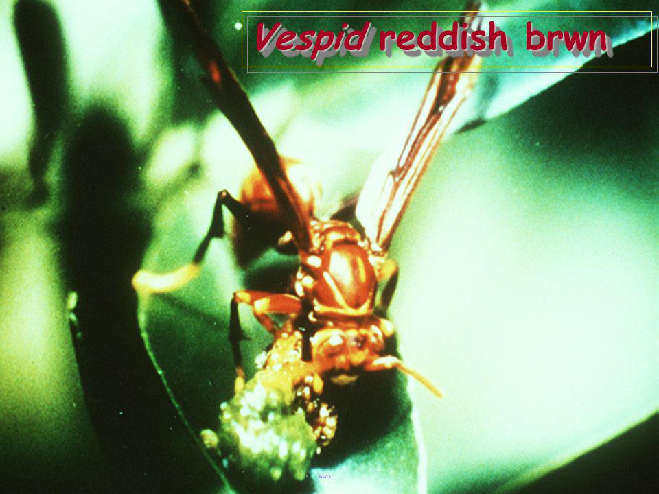 Vespid reddish brwn