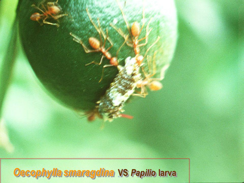 Oecophylla smaragdina VS Papilio larva