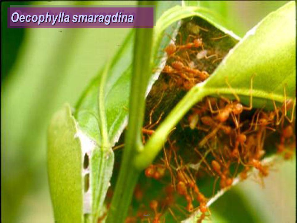 Oecophylla smaragdina