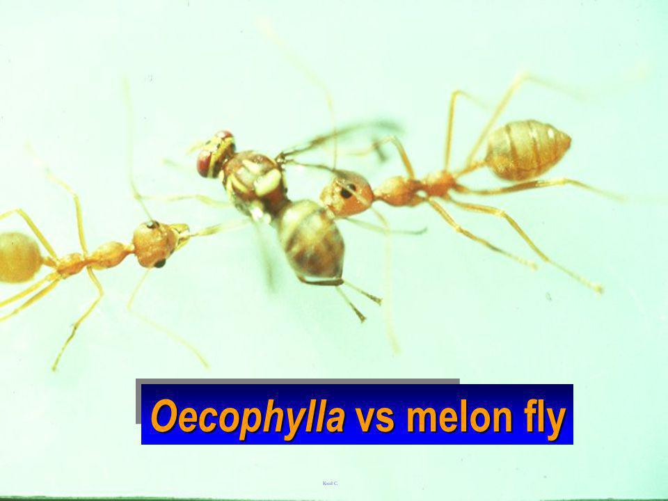 Oecophylla vs melon fly