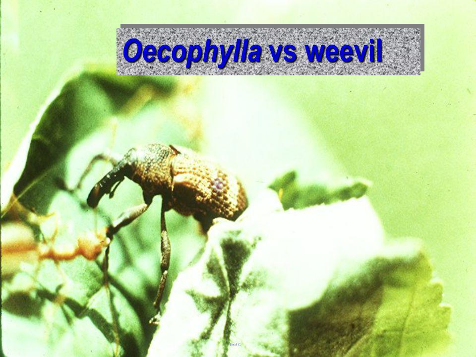 Oecophylla vs weevil