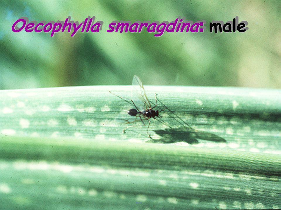 Oecophylla smaragdina: male