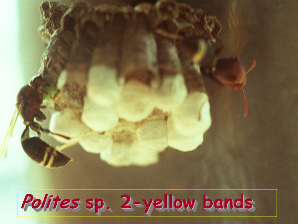 Polites sp. 2-yellow bands