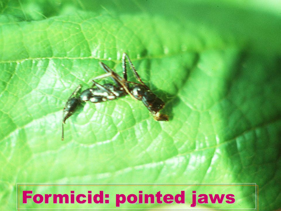Formicid: pointed jaws