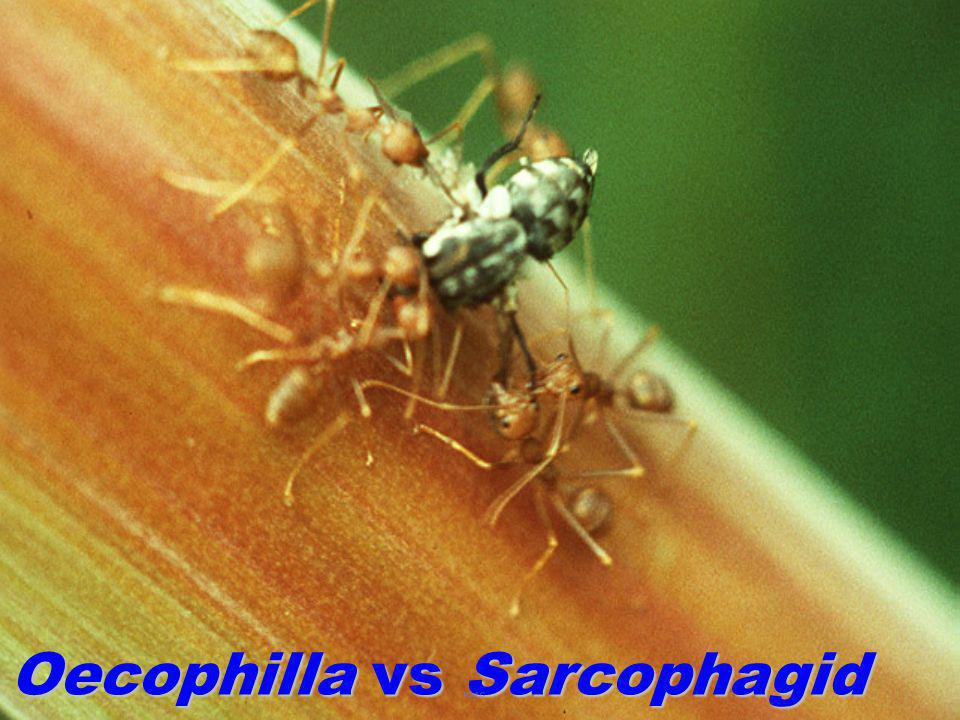 Oecophilla vs Sarcophagid