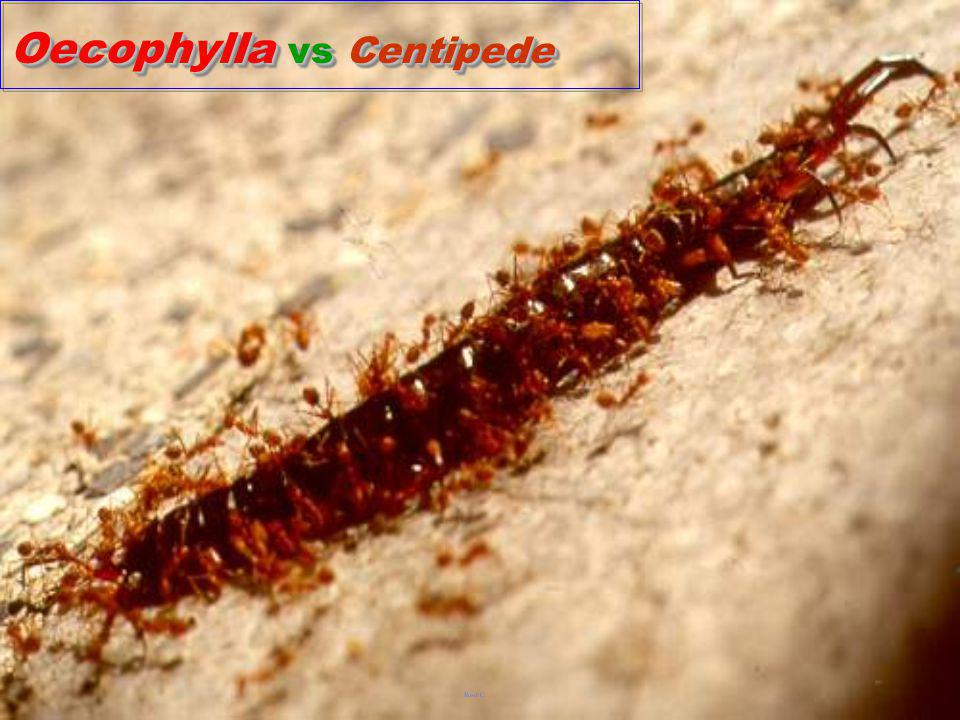 Oecophylla vs Centipede