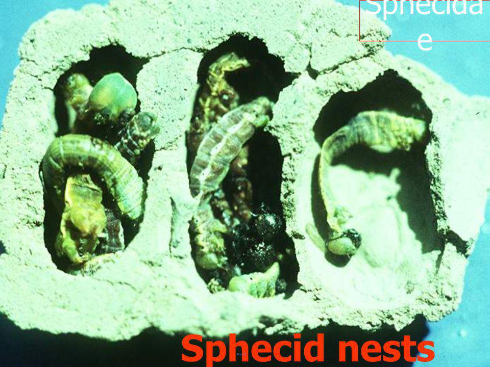 Sphecidae Sphecid nests