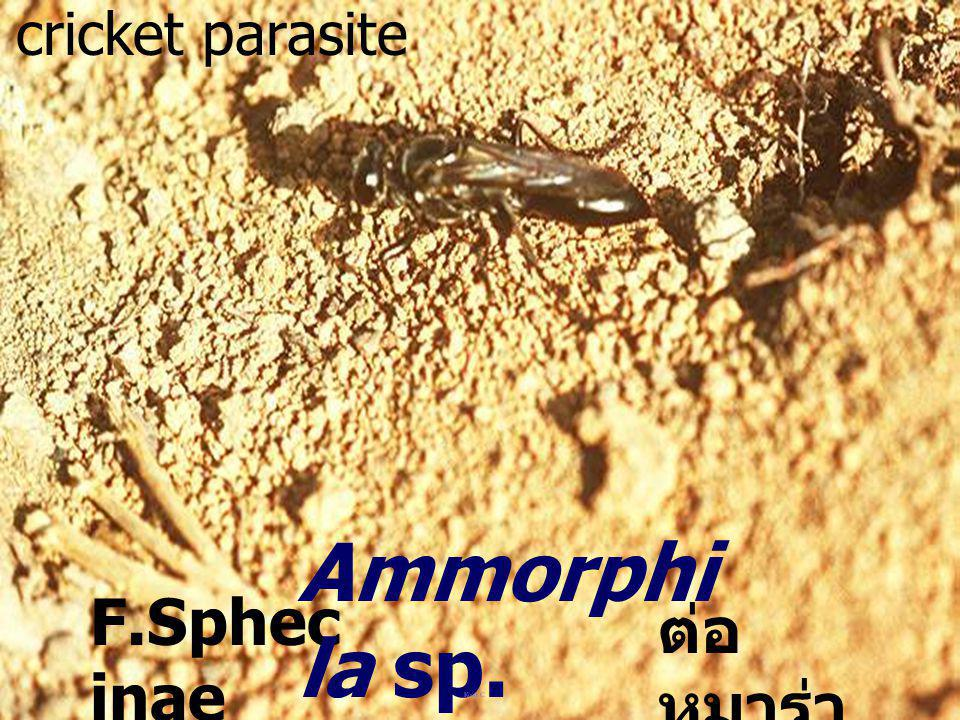 cricket parasite Ammorphila sp. F.Sphecinae ต่อหมาร่า