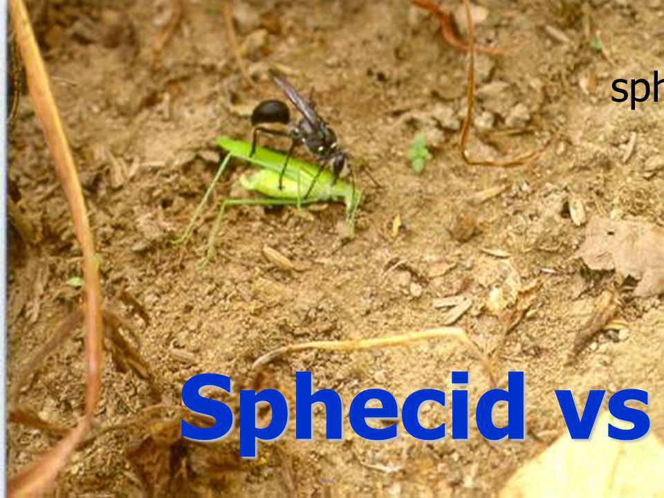 sphecid Sphecid vs Katylid