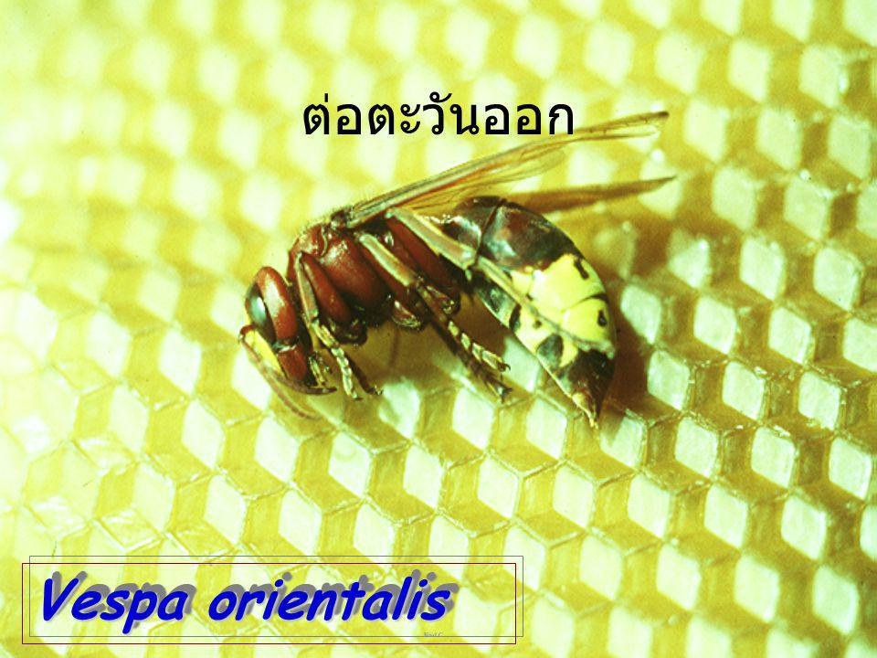 ต่อตะวันออก Vespa orientalis