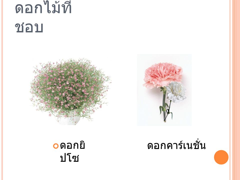 ดอกไม้ที่ชอบ ดอกยิปโซ ดอกคาร์เนชั่น