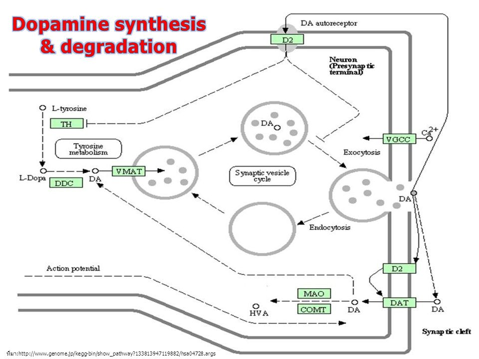 Dopamine synthesis & degradation