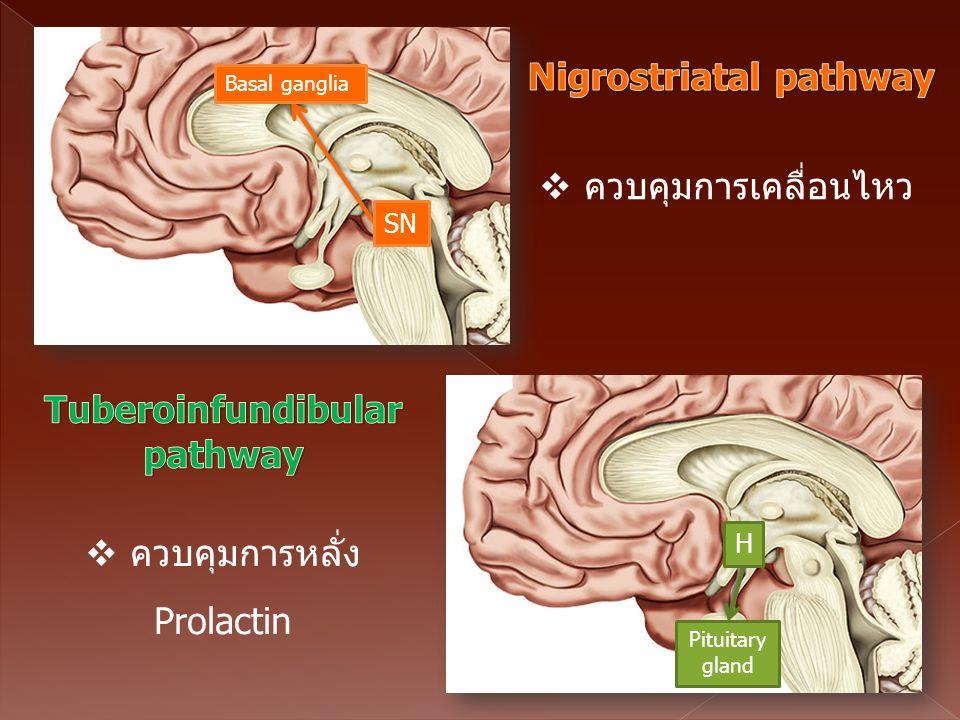 Tuberoinfundibular pathway