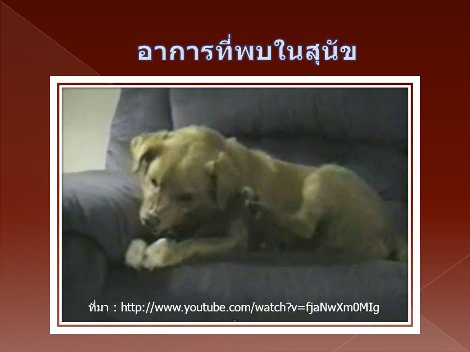 อาการที่พบในสุนัข ที่มา : http://www.youtube.com/watch v=fjaNwXm0MIg