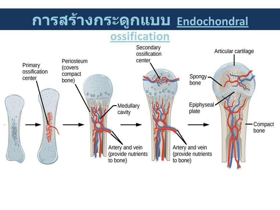 การสร้างกระดูกแบบ Endochondral ossification