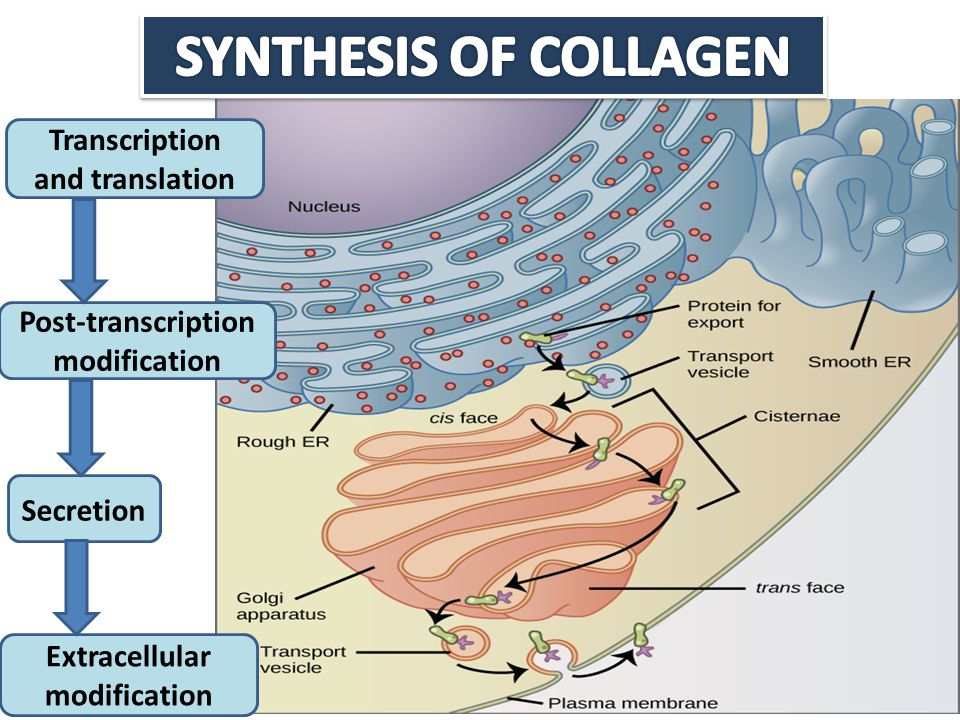 SYNTHESIS OF COLLAGEN Transcription and translation