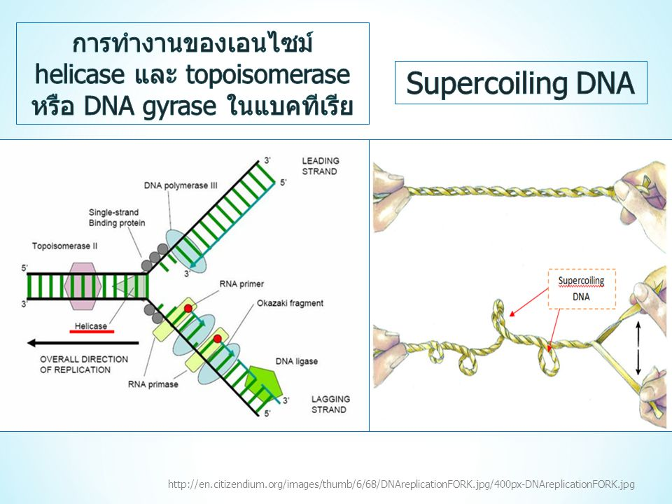 การทำงานของเอนไซม์ helicase และ topoisomerase หรือ DNA gyrase ในแบคทีเรีย