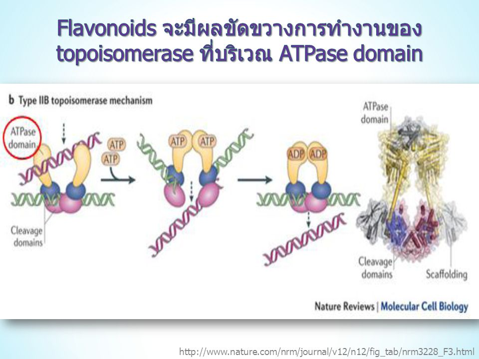 Flavonoids จะมีผลขัดขวางการทำงานของ