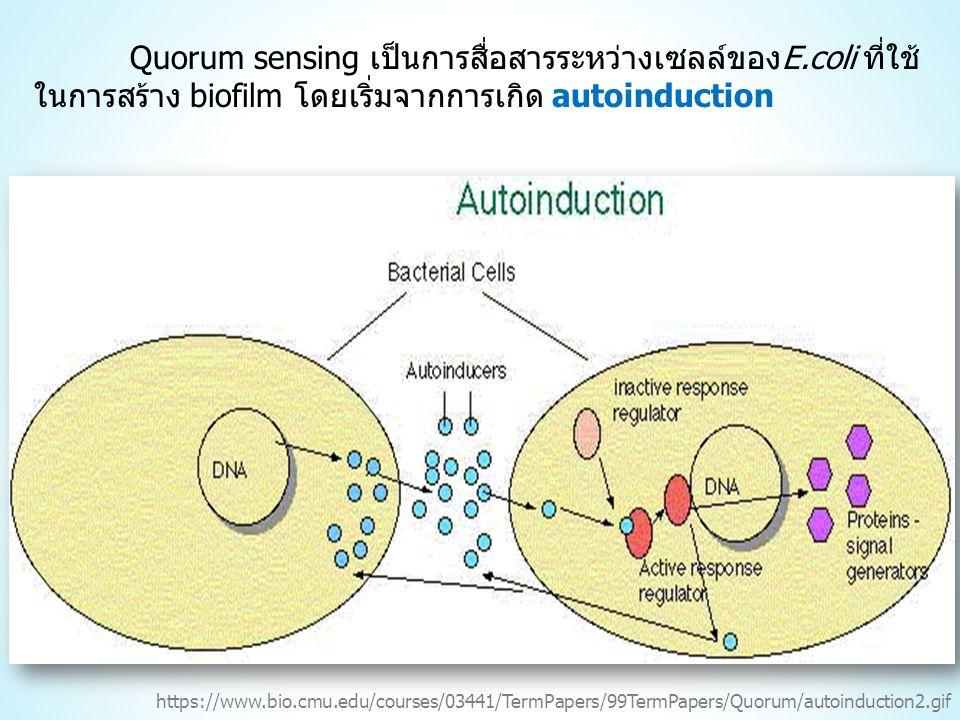 Quorum sensing เป็นการสื่อสารระหว่างเซลล์ของE