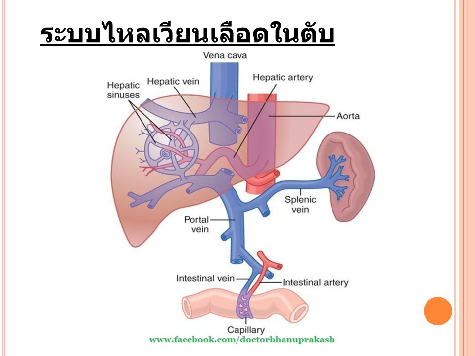 ระบบไหลเวียนเลือดในตับ