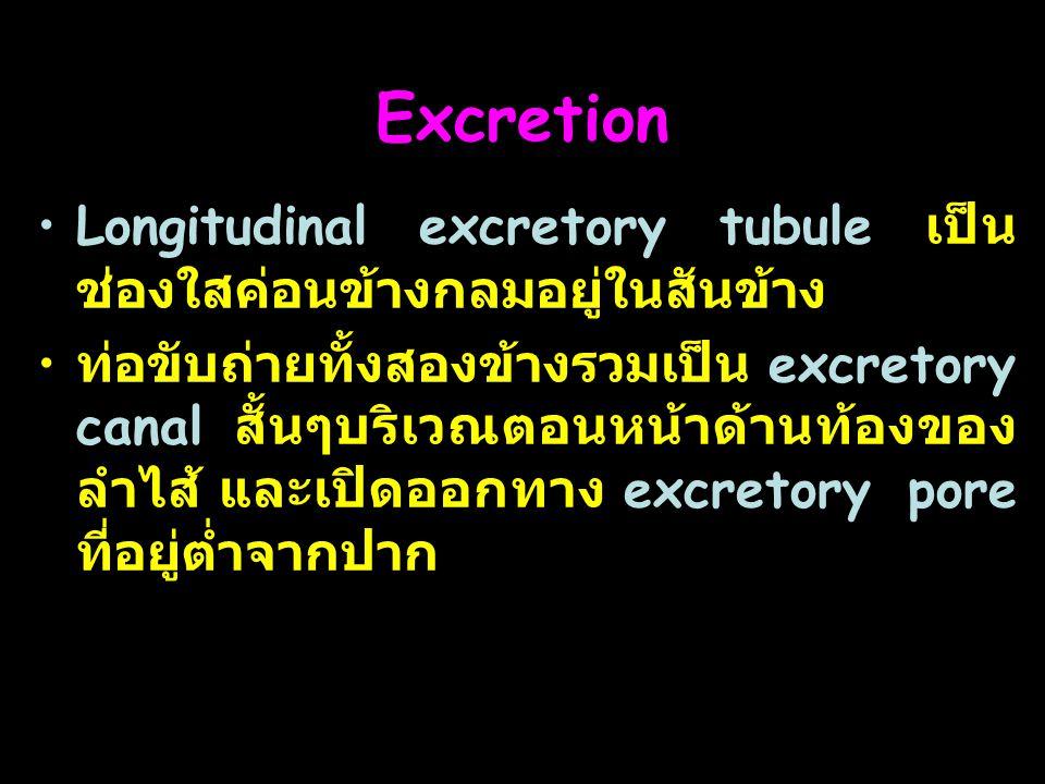 Excretion Longitudinal excretory tubule เป็นช่องใสค่อนข้างกลมอยู่ในสันข้าง.