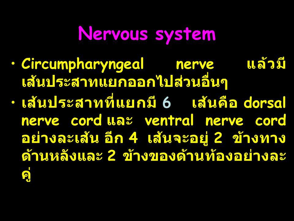Nervous system Circumpharyngeal nerve แล้วมีเส้นประสาทแยกออกไปส่วนอื่นๆ.