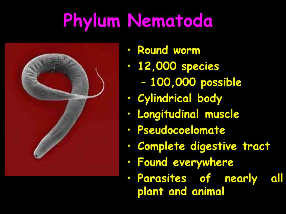 Phylum Nematoda Round worm 12,000 species 100,000 possible