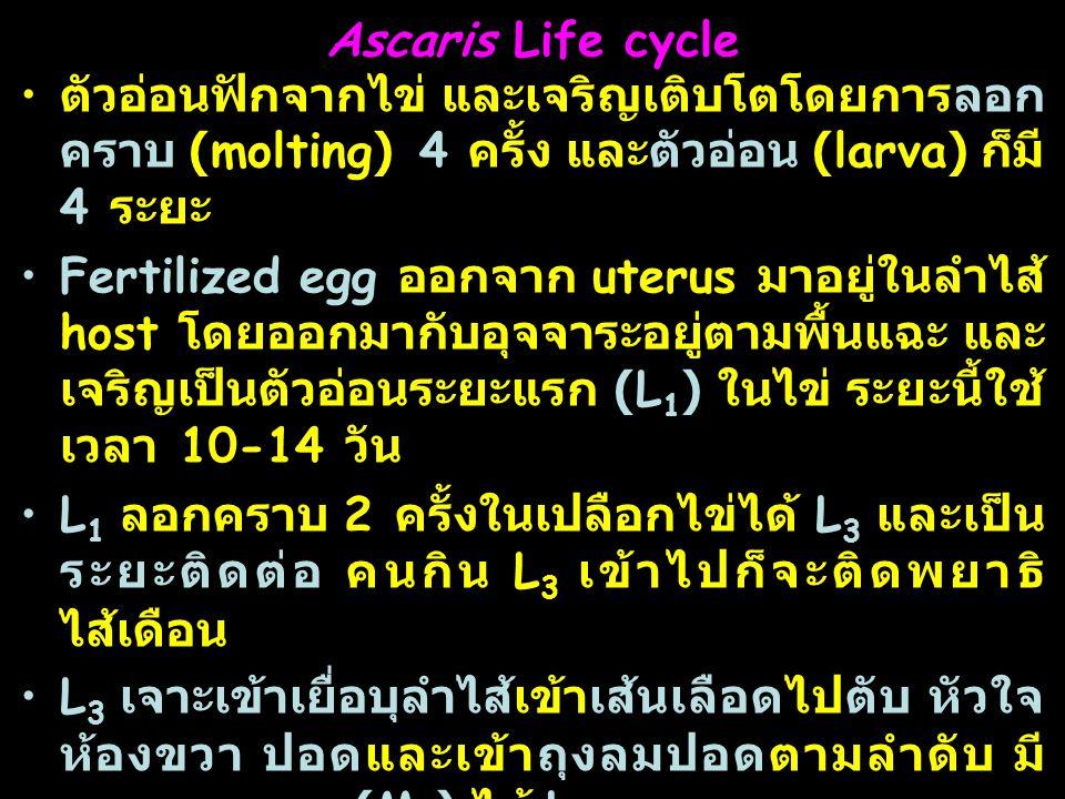 Ascaris Life cycle ตัวอ่อนฟักจากไข่ และเจริญเติบโตโดยการลอกคราบ (molting) 4 ครั้ง และตัวอ่อน (larva) ก็มี 4 ระยะ.