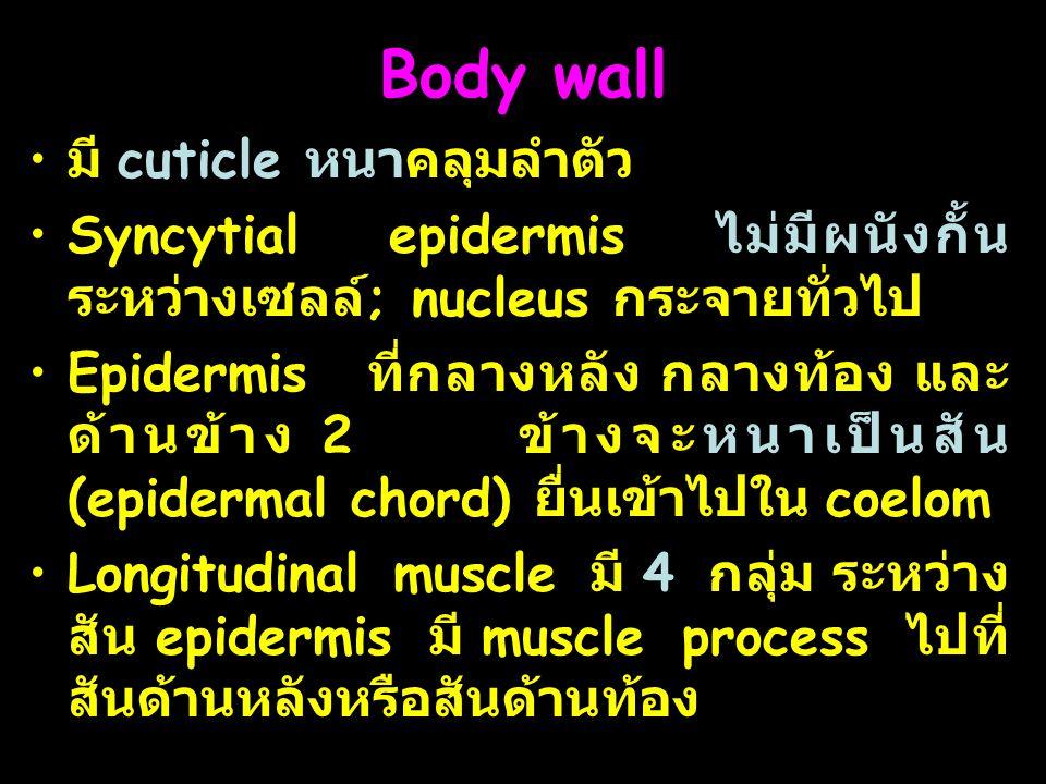 Body wall มี cuticle หนาคลุมลำตัว