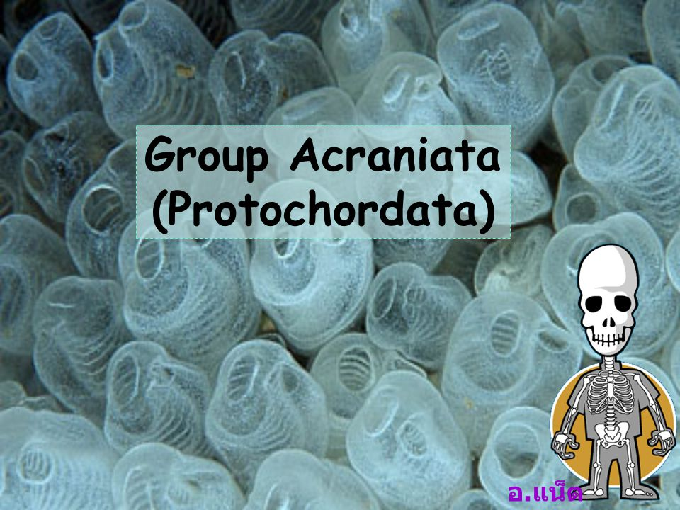 Group Acraniata (Protochordata)