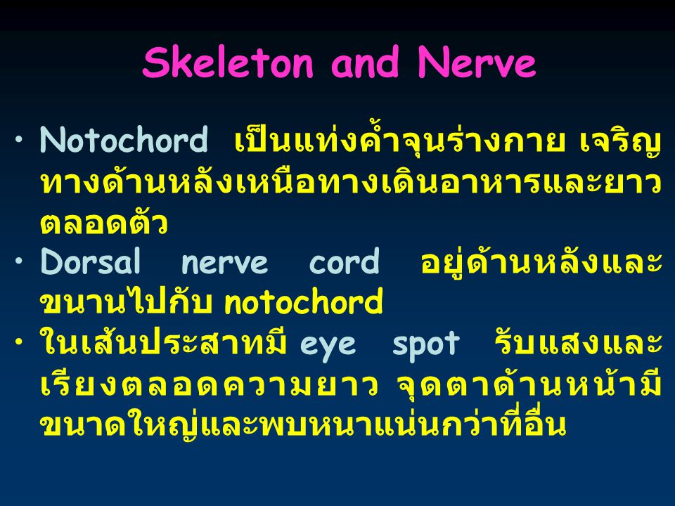 Skeleton and Nerve Notochord เป็นแท่งค้ำจุนร่างกาย เจริญทางด้านหลังเหนือทางเดินอาหารและยาวตลอดตัว.