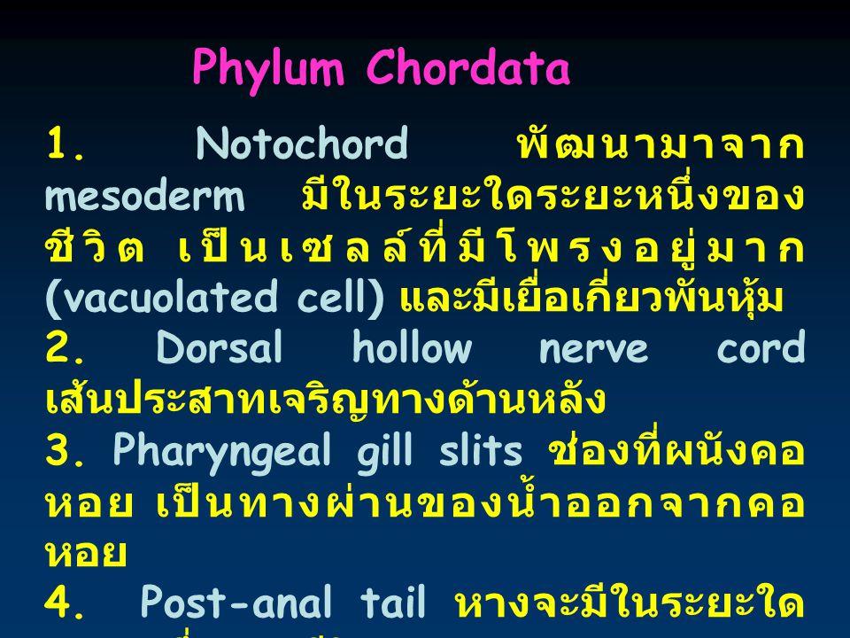 Phylum Chordata 1. Notochord พัฒนามาจาก mesoderm มีในระยะใดระยะหนึ่งของชีวิต เป็นเซลล์ที่มีโพรงอยู่มาก (vacuolated cell) และมีเยื่อเกี่ยวพันหุ้ม.