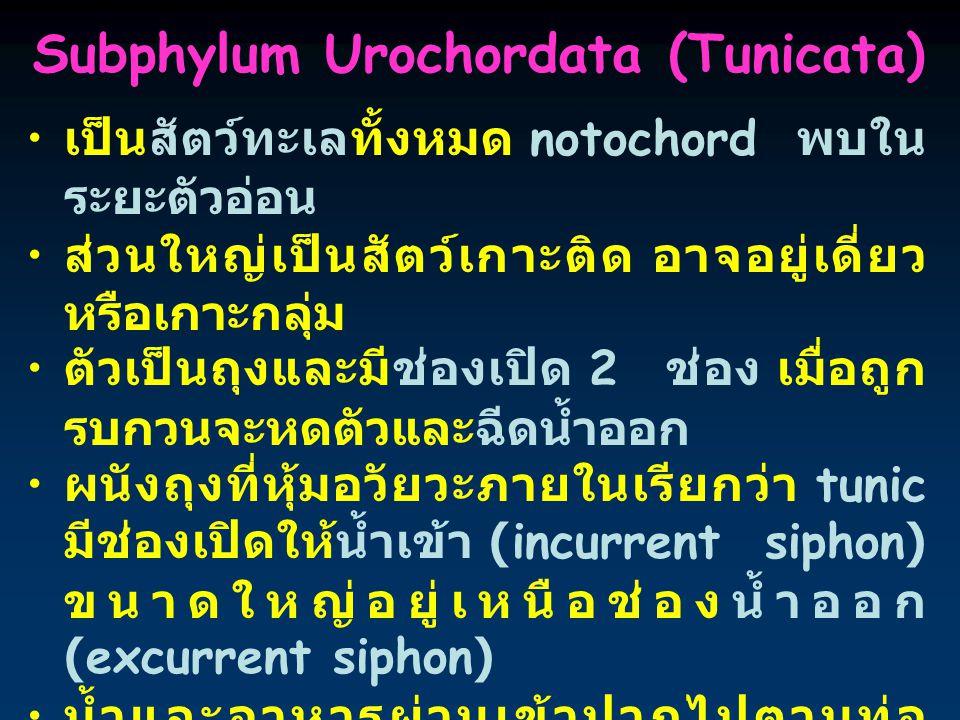 Subphylum Urochordata (Tunicata)