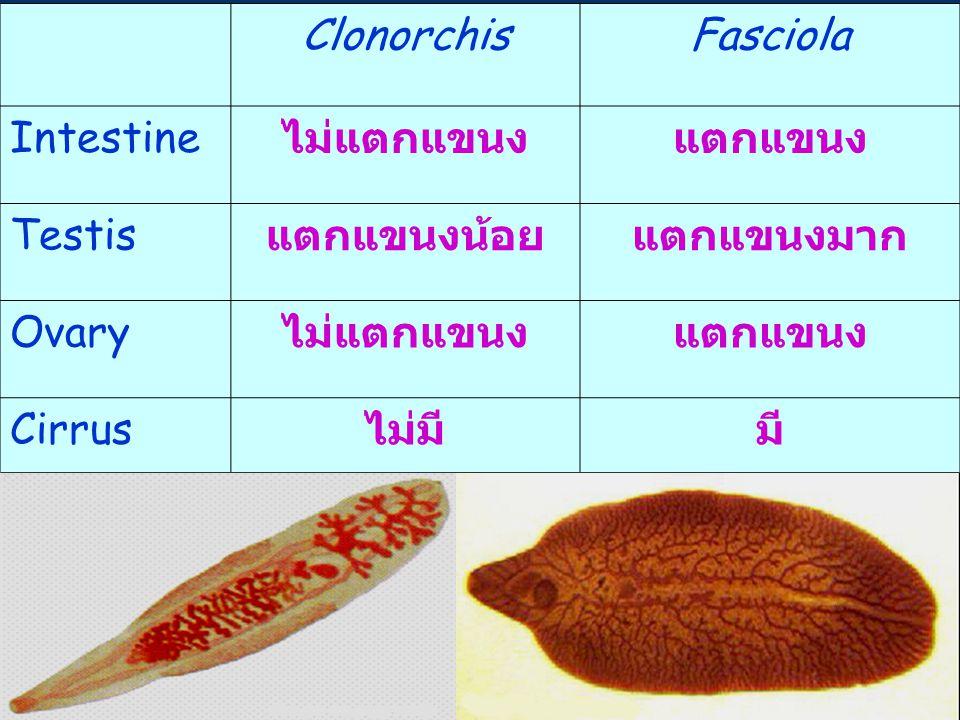 Clonorchis Fasciola. Intestine. ไม่แตกแขนง. แตกแขนง. Testis. แตกแขนงน้อย. แตกแขนงมาก. Ovary.