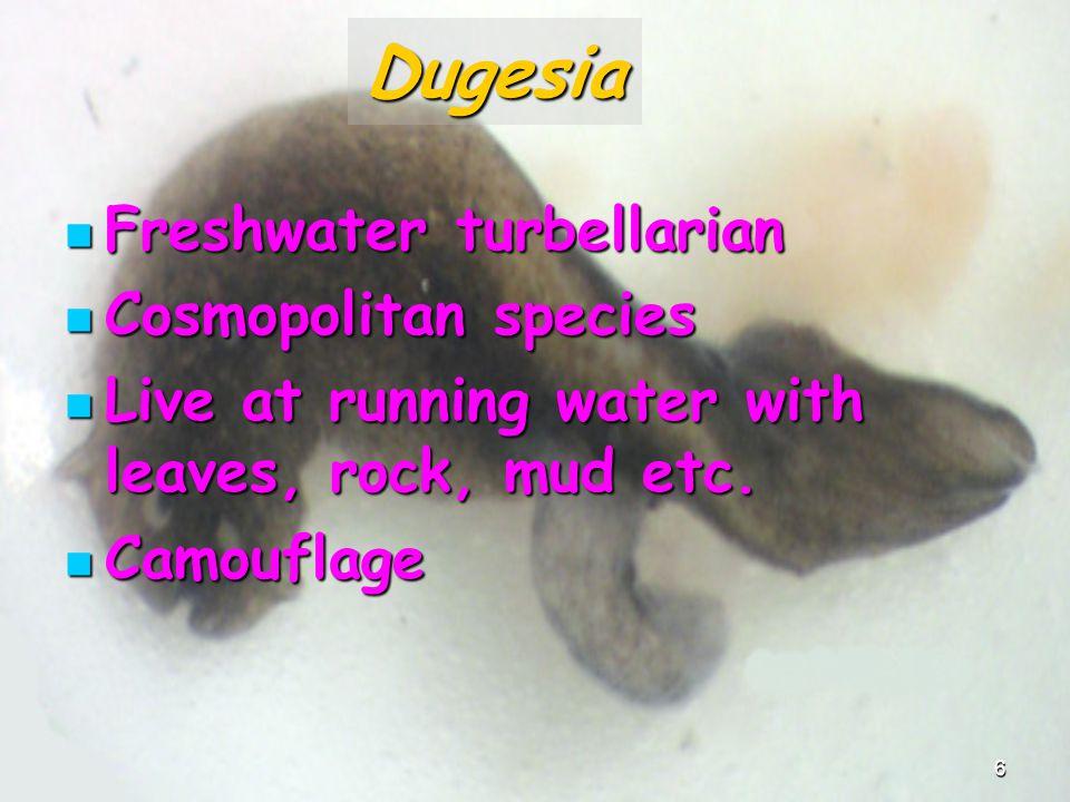 Dugesia Freshwater turbellarian Cosmopolitan species
