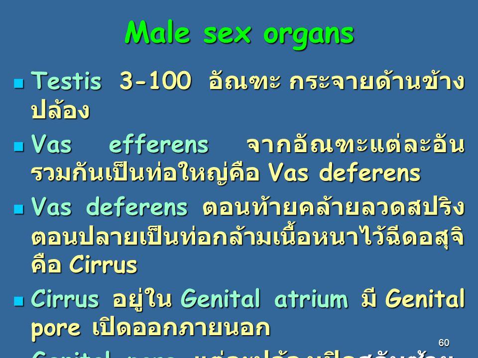 Male sex organs Testis 3-100 อัณฑะ กระจายด้านข้างปล้อง