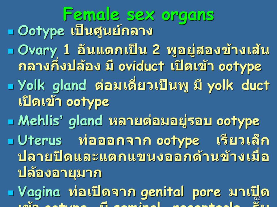 Female sex organs Ootype เป็นศูนย์กลาง
