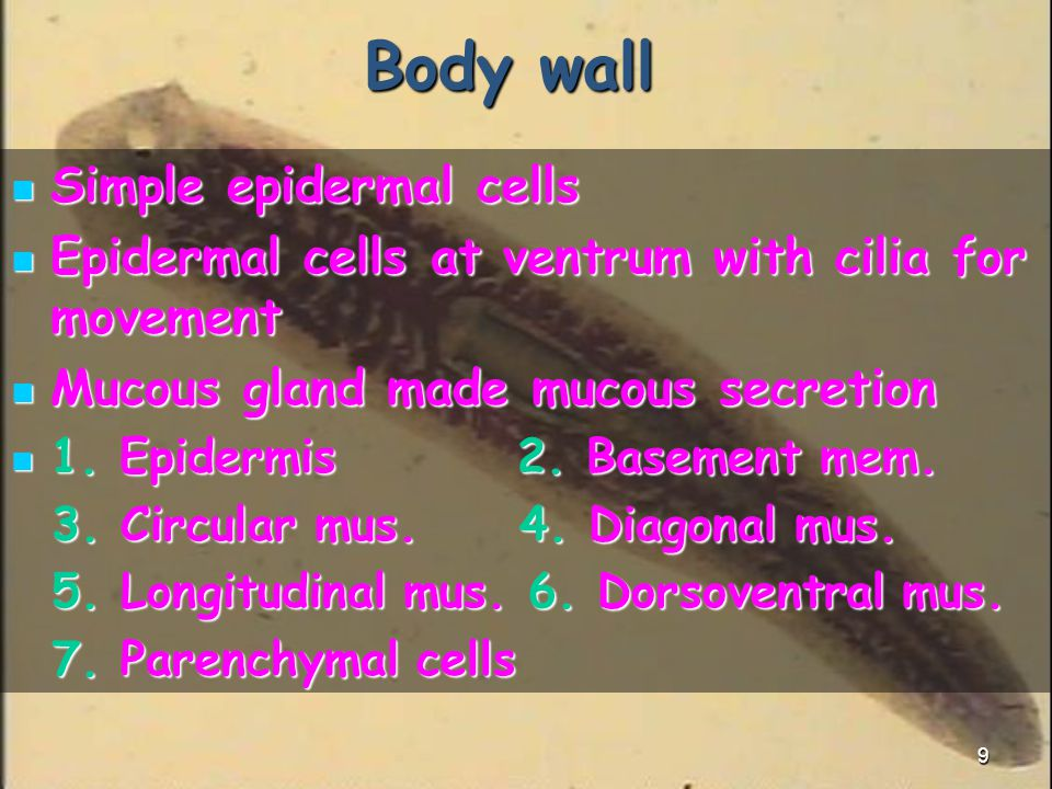 Body wall Simple epidermal cells