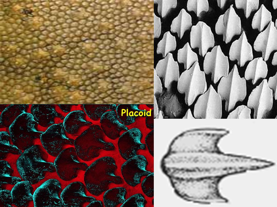 Placoid