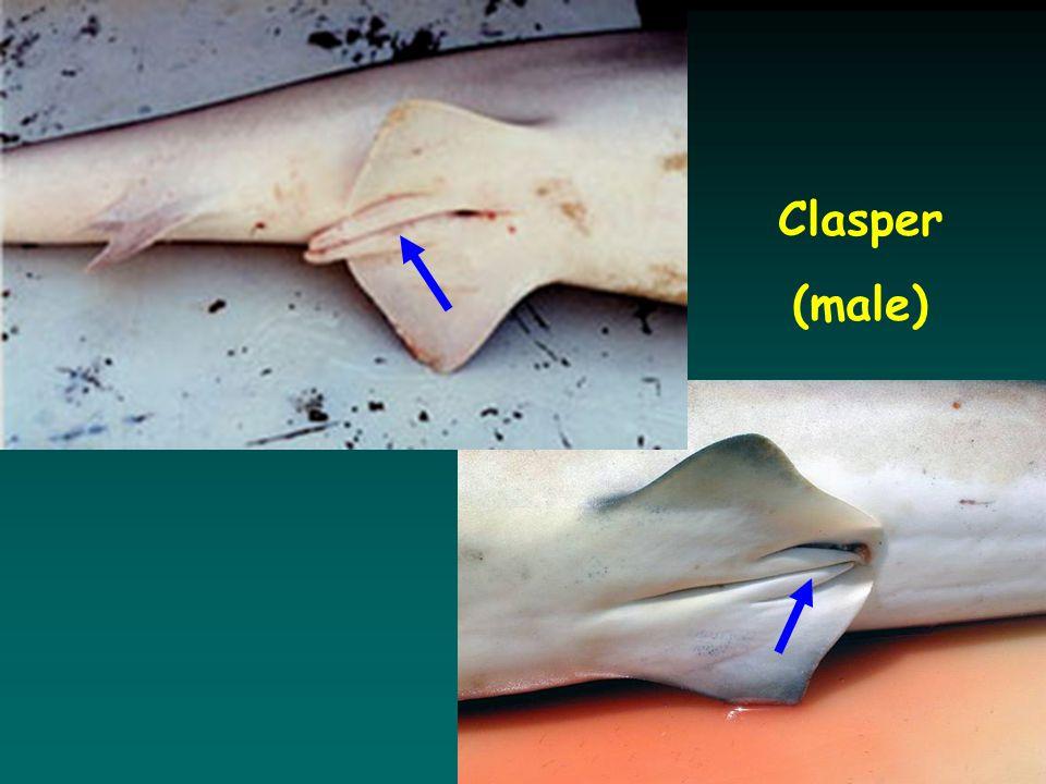 Clasper (male)