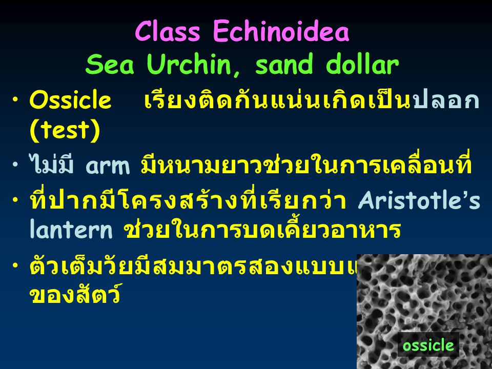 Class Echinoidea Sea Urchin, sand dollar