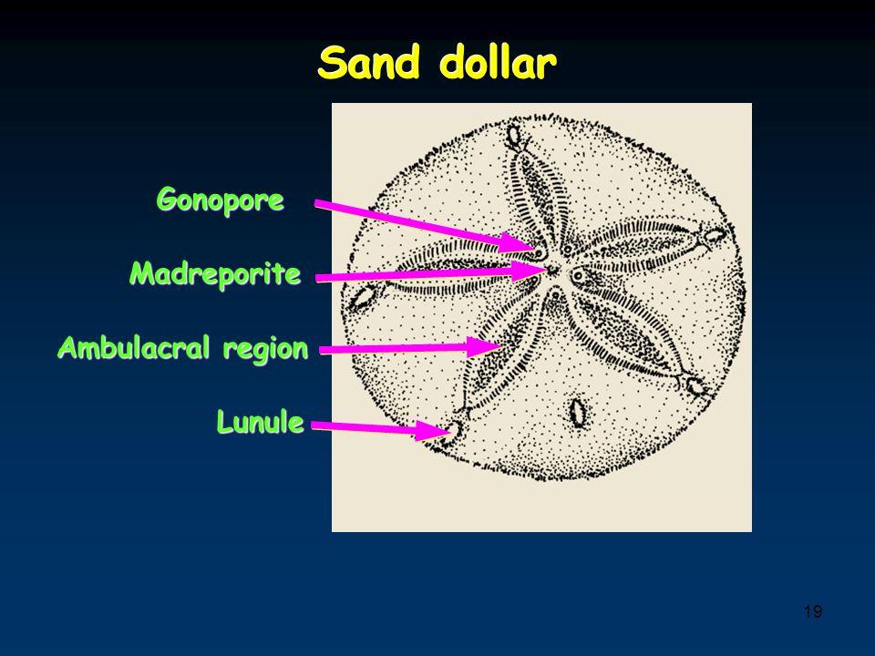 Sand dollar Gonopore Madreporite Ambulacral region Lunule