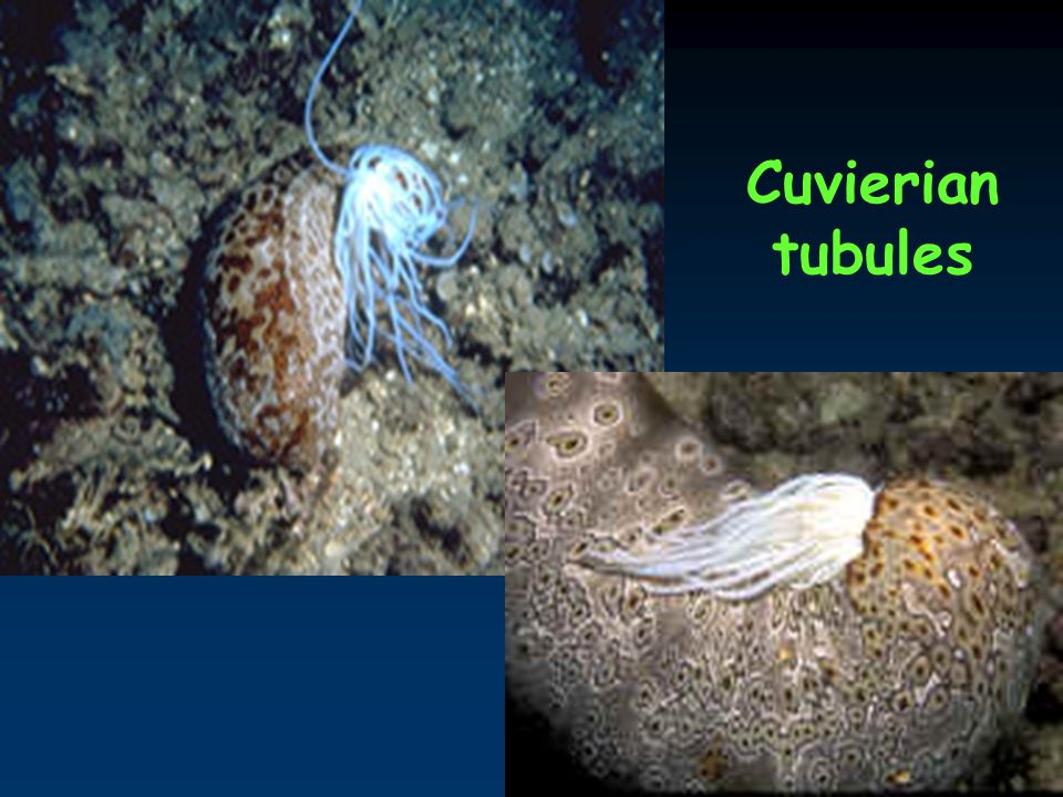 Cuvierian tubules