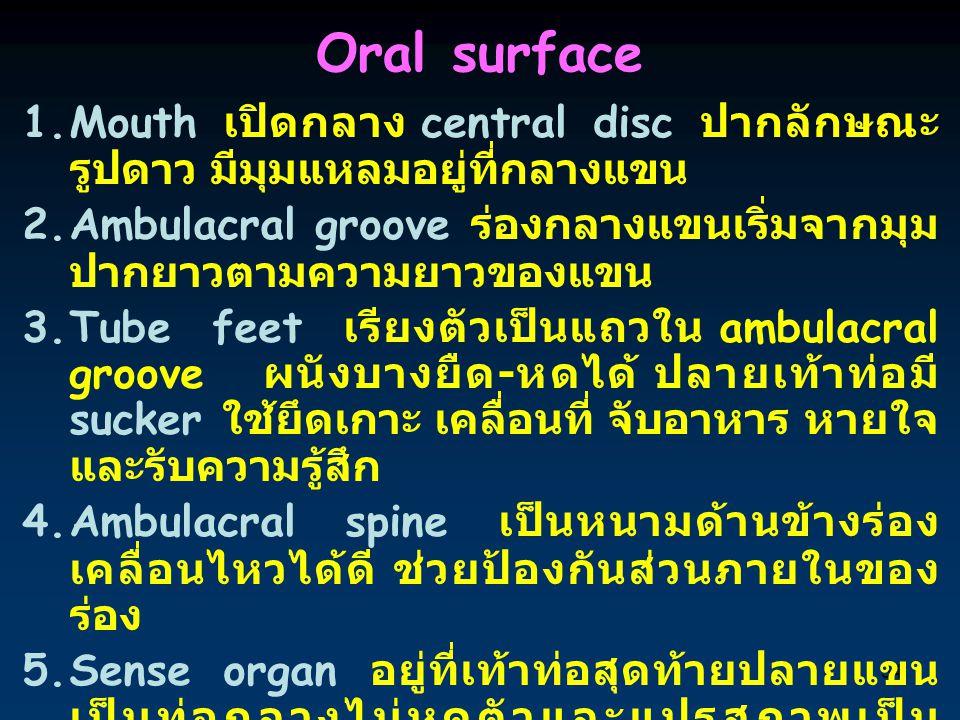 Oral surface Mouth เปิดกลาง central disc ปากลักษณะรูปดาว มีมุมแหลมอยู่ที่กลางแขน. Ambulacral groove ร่องกลางแขนเริ่มจากมุมปากยาวตามความยาวของแขน.